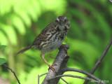 Brunat chanteur - Song Sparrow