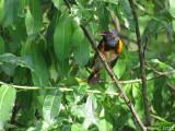 Paruline flamboyante - American Redstart