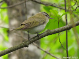 Vireo aux yeux rouges - Red-eyed Vireo