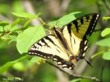Papillon tigré du Canada - Western Swallowtail