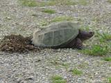 Tortue - Turtle