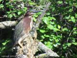 Héron vert - Green Heron