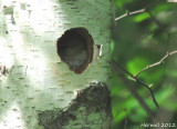 Troglodyte familier sur le nid -  House Wren on nest
