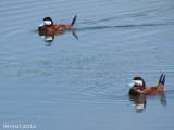 Erismature rousse - Ruddy duck