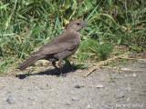 Vacher à tête brune - Brown-headed Cowbird