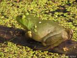 Ouaouaron - Bull frog