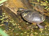Tortue peinte - Peinted turtle