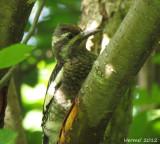 Pic maculé (juv) - Yellow-bellied Sapsucker(juv)