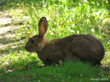 Lièvre - Hare