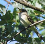 Moucherolle des saules - Willow Flycatcher