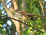 Bruant des marais -Swamp Sparrow