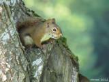 Ecureuil - Squirrel