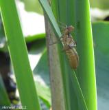 Larve de libellule - Dragonfly nymph