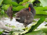 Gallinule - Common Moorhen