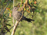 Moqueur-chat - Gray Catbird