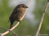 Carouge à épaulettes (juv) - Red-winged Blackbird (juv)