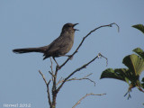 Moqueur-chat (juv) - Gray Catbird (juv)