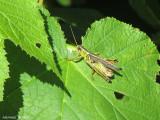Criquet - Locust