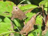 Papillon ocellé - Common Buckeye
