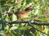 Bruant de Lincoln - Lincoln's Sparrow