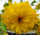 Pleniflora