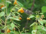Colibri dans Impatiente du cap - Hummingbird in Jewelweed