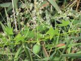 Concombre sauvage - Wild cucumber