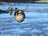 Nid de guêpes - Hornet nest