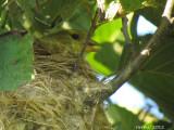 Chardonneret jaune sur le nid - American Goldfinch on nest