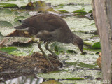 Gallinule (juv) - Common Moorhen (juv)