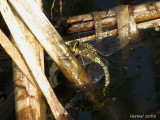 Libellule qui pond ses oeufs - Dragonfly laying eggs