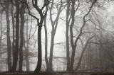 Winterbeukenbos, mist - Beech forest, fog