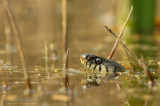 Ringslang - Grass snake