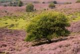 Hills with blooming heather - Heuvels met bloeiende heide