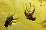 Huisvlieg - House fly