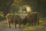 Schotse Hooglander - Highland bulls