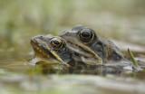 Bruine kikker - Common brown frog