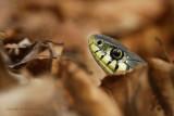 Ringslang - Grass snake 1