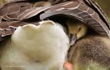Grauwe gans - Anser anser