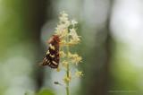 Heidewortelboorder - Gold Swift