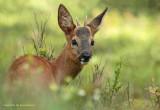 Ree - Roe Deer