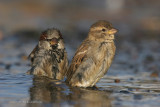 House Sparrow - Their Life