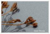 Anis vert (cueilli en nature)