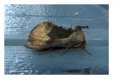 8897 - Noctuelle aux miroirs verts - Diachrysia balluca