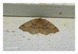 6888 - Arpenteuse de la pruche - Lambdina fiscellaria