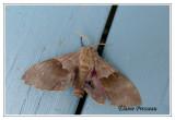 7828 - Sphinx du peuplier - Pachysphinx modesta