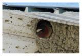 Hirondelle à front blanc au nid