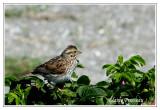 Bruant des prés -  Savannah Sparrow - Passerculus sandwichensis (Laval Québec)