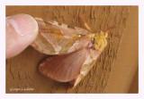 0020 - Hépiale à quatre points - Sthenopis quadriguttatus (Parc de la Gaspésie)