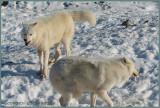 Loup arctique - Le mâle dominant avec les crocs sortis